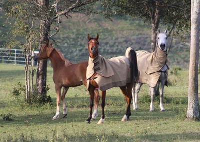 Left to right: Zuhra Z'Alshimmah (chestnut yearling filly), her dam Zeehan Bint Nabila (bay), & Zsarina Zoya (grey) in 2009.
