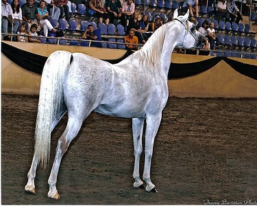 Sire: Al-Fahiir (SE stallion, in his show days)