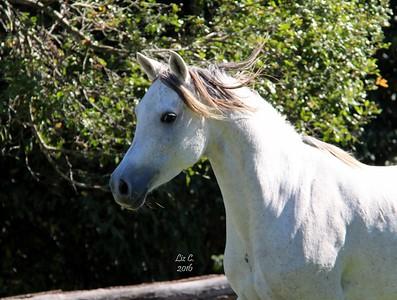 Zhivaana in May 2016; 5 months in foal.