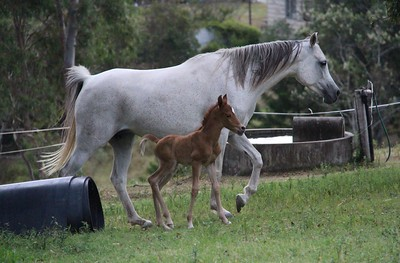 Zhivaana & her first foal Zafiira (November 2016).