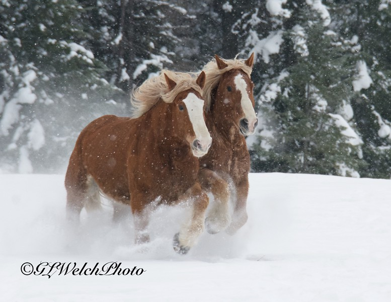Clydesdales Running on a Snowy Day