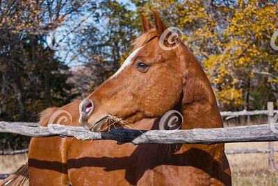 Head Portrait of an Arabian Horse