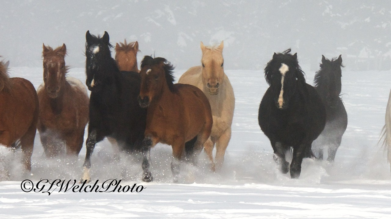 Quarter Horses in the snow