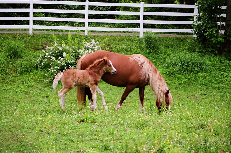 Horse Brown Colt and Mother Horse