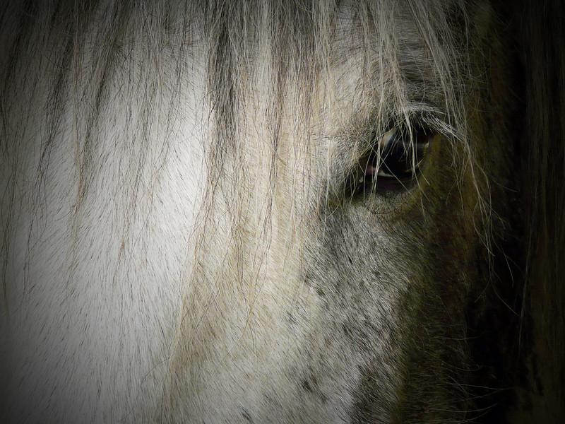 White horse closeup
