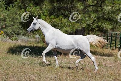 Trotting Pregnant Arabian Mare