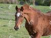 Old Saddlebred Head Portrait