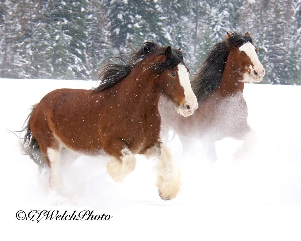 Belgians in the Snow