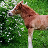 Horse Brown Colt Photography