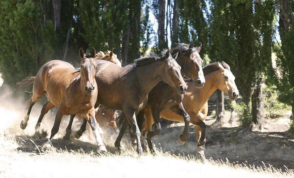 Criollo Horses
