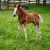 Horse Brown Colt Photo