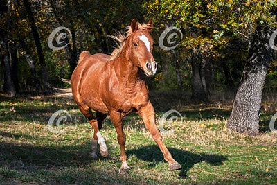 Arabian Horse at Liberty in the Woods
