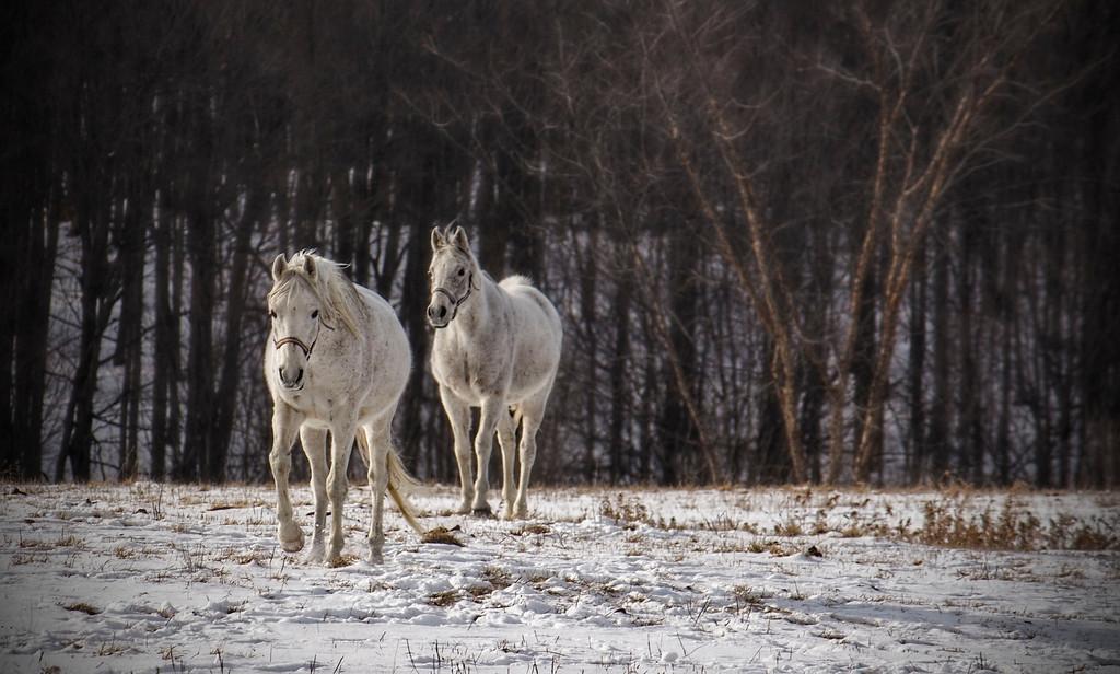 Two white horses - Copy