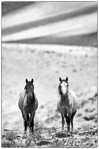 Virginia Herd Pair