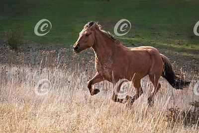 Buckskin Mustang Horse Galloping Through Tall Grass