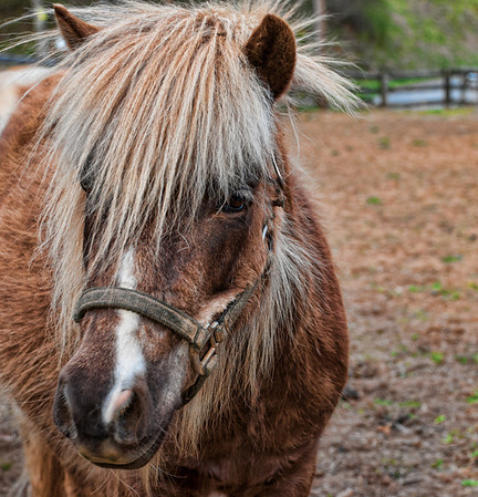 April 17 - Bad Hair Day   <br /> <br /> This is a minature horse on a friend's farm.  He is shedding out now that warmer weather has come.  It looks like he is a ball of static electricity with the way his hair is standing up and out.  He is a friendly little guy!<br /> <br /> Thanks for your comments on my chicken crossing the road image yesterday..it was taken on the same farm