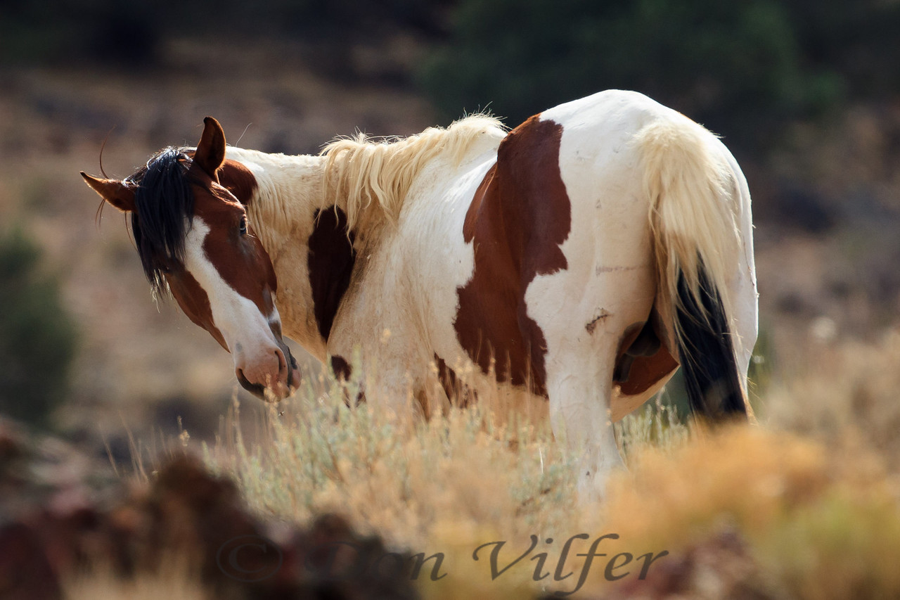 A wild horse in Nevada.