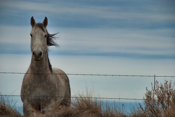 May 8 - Lonely Horse #2 <br /> <br /> I posted an image of the same horse yesterday.  This one was taken when the wind was blowing his mane and at a different angle.  I like this one also, but preferred the one yesterday with the fence post.  Thoughts on your preference?  I have more images of him, but I am not sure if I will post more of him yet, lol, I don't wish you bored with the subject matter.<br /> <br /> Thanks so much for your comments yesterday on the first image - they mean alot!!
