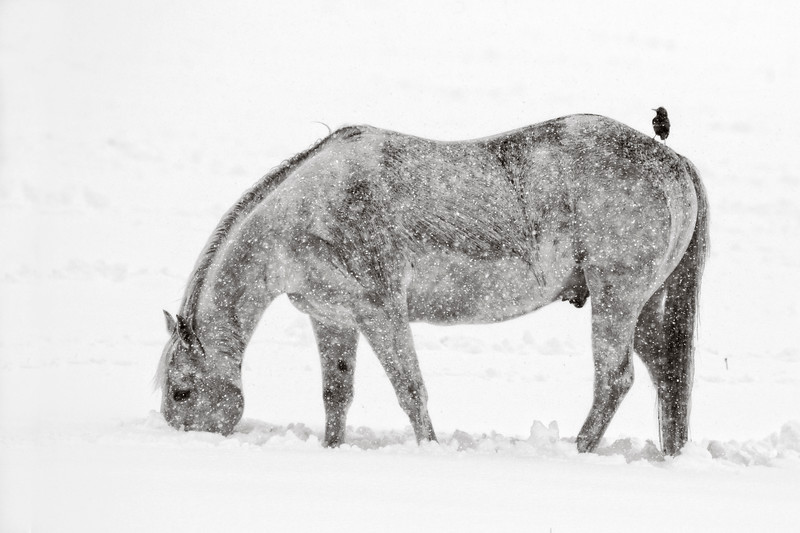 Montana horse and cowbird