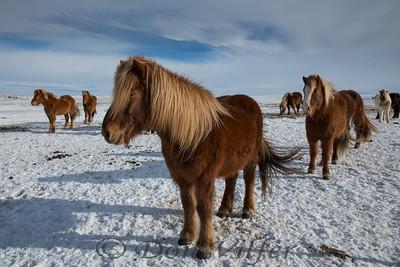 Icelandic Pony herd