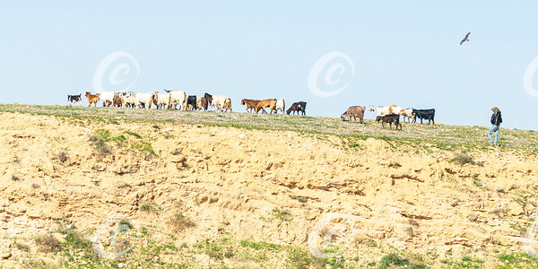 Bedouin and Dogs Herding Goats