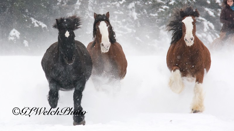 Percheron and Belgiums