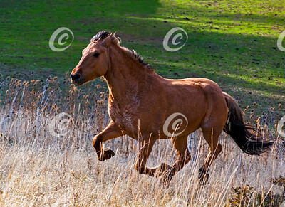 Mustang Running Wild