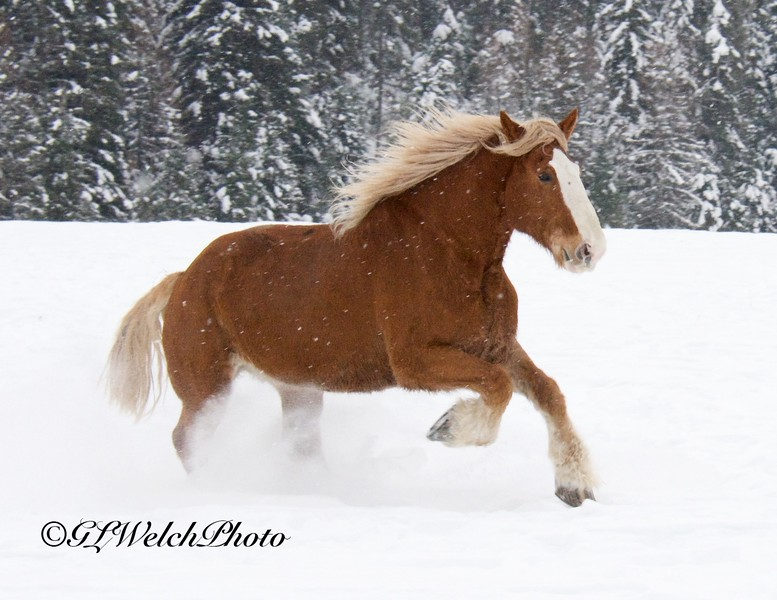 Prancing Clydesdale