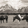 Ranch Horses | Grand Teton National Park