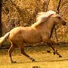 Peruvian Paso Horses