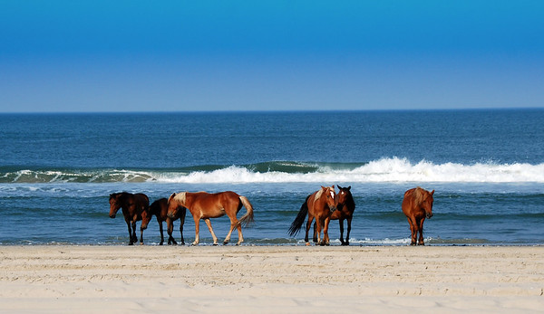I took this photo while at Corolla Outback Adventures in North Carolina. These are Wild Spanish Mustangs and I read that they descended from the Spanish Mustangs brought to the Outer Banks by early explorers. The Corolla Wild Horses have roamed across the Currituck Outer Banks for approximately 400 years. A beautiful site to see for sure.