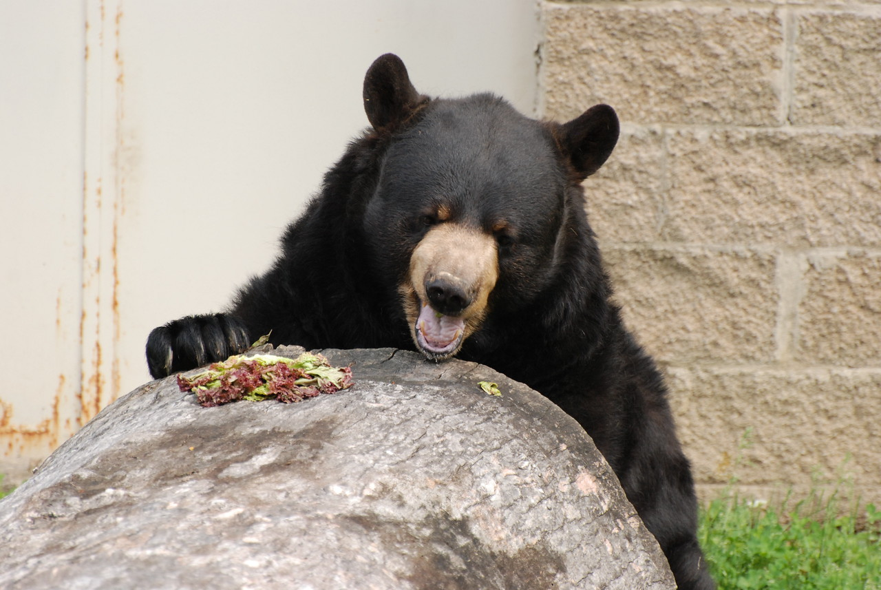 Bear having lunch - Salato Frankfort, KY