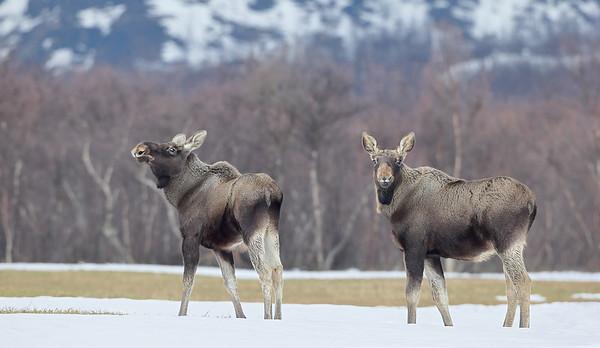 Elg - Moose