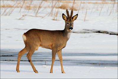 Rådyr - Roe deer