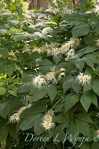 Aesculus parviflora_240