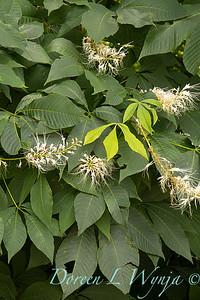 Aesculus parviflora_1764