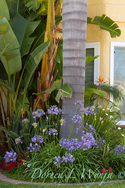 Agapanthus Queen Anne_003