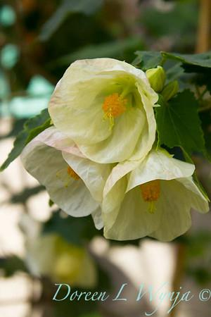 Abutilon hybridum Albus