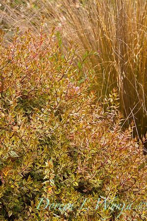 Abelia x grandiflora 'Kaleidoscope'_0353