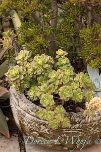 Aeonium 'Kiwi' - Crassula ovata 'ET Fingers' - planter_8766