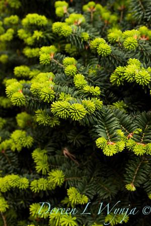 Abies balsamea Nana new growth