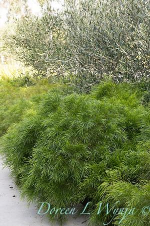 Acacia cognata 'ACCOG01' - Olea_0250