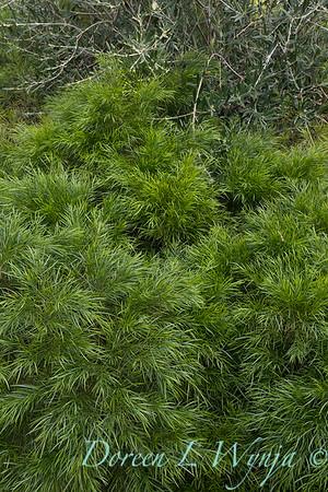 Acacia cognata 'ACCOG01' Cousin Itt; Olea olive