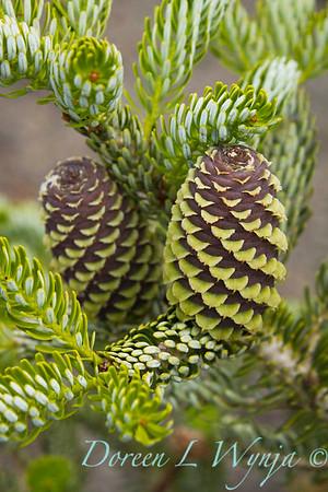 Abies koreana Horstmann's Silberlocke cones