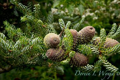 Abies koreana Horstmann's Silberlocke cluster of cones
