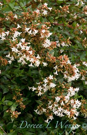 Abelia chinensis