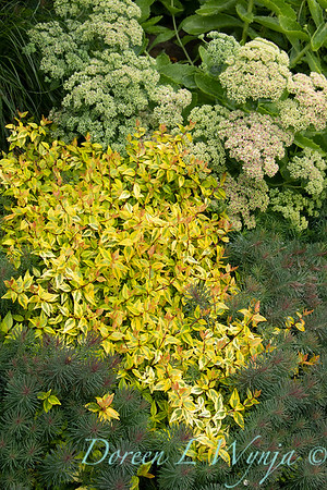 Abelia x grandiflora 'Kaleidoscope'; Euphorbia cyparissias 'Fens Ruby'; Sedum spectabile 'Autumn Joy'