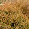 Abelia x grandiflora 'Kaleidoscope'_0350