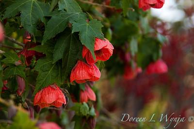 Abutilon Vesuvius Red
