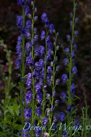 Aconitum napellus_021